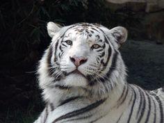 Tiere, tiger, weißes Fell, Ruhe, Wald, Fotografie