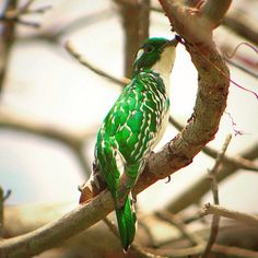 Klaas's Cuckoo in Tembo Kijani Bee Eater, Stork, Heron, Tanzania, Eagles, Parrot, National Parks, Birds, Animals