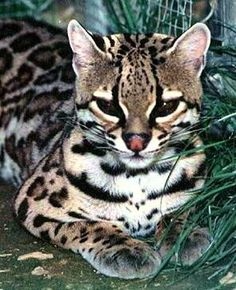 Ocelot.. does want
