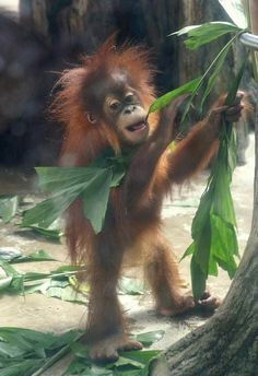 Naughty.Baby Orangutan pulling all the leaves off of the Tree