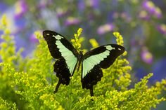 The Green Banded Swallowtail Butterfly, Papilio phorcas, photograph by:  Darrell Gulin