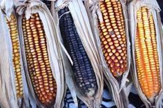 Mexico's GMO Corn Ban and the Glyphosate Cancer Findings