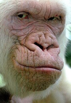 """""""Snowflake"""" or """"Copito de Nieve"""", the Only Known albino gorilla. Lived at the Barcelona Zoo from 1964-2003."""