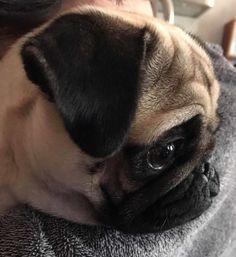 Thank you to Helen Lee & Bunny! ・・・ www.jointhepugs.com/ ・・・ #pug #pugpower #pugsnotdrugs #puglife #puglove #mops #cuteness #puglover #dogs #dogsofinstagram #pugstagram #dogsofinstaworld #instapug #pugoftheday
