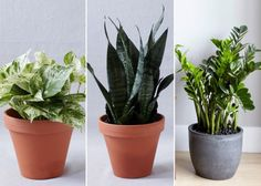 Zz plant care plant toxic best plant care ideas on indoor plant lights easy house plants . Indoor Green Plants, Indoor Plant Lights, Plant Lighting, Zz Plant Care, Easy House Plants, Plant Identification, Plant Information, Snake Plant, Garden Planning