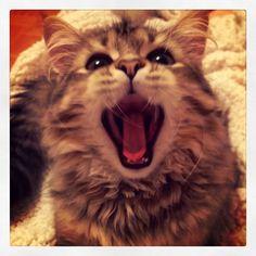 I'm the king  of the world. Roar  roar  Roaaaarrrrrrrrrr #kingoftheworld #roarlionsroar #roar #letsroar #hearmeroar #roarrr #eyeofthetiger #ilovetopose #feelingcrazy #siberiancat #catsofinstagram #victorthecat #cats #instacat #catoftheday #catstagram #lovecats #catlovers #iamgorgeous #kitten #gorgeouscat #cutecat #ilovecats