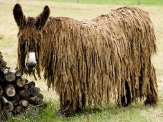 Poitou Donkey. One of the most distinctive donkey breeds, it is also among the rarest and least-known