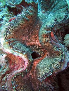 Giant Clam by thesharkhunter, via Flickr