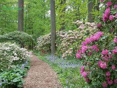 A favorite pathway along the azalea woodland garden at Winterthur.