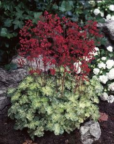 The green and white marbled foliage of this variety can be grown for it foliage alone, although 'Hercules' is best noted for its deep, blood-red flowers that bloom midsummer. Hands down the most attractive blooms from a Heuchera.