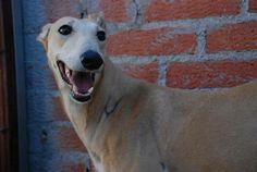 Petfinder  Adoptable | Dog | Galgo Spanish Greyhound | McLean, VA | Xena