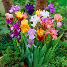 May 8, National Iris Day
