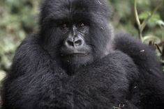 With the mountain gorillas of Rwanda, which share 98 percent of our DNA, we are looking into a mirror, and they are looking impassively back.