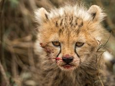 This cheetah cub instantly betrays the fact that it is in reality a highly skilled hunter,...