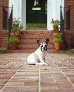 #petphotography #frenchbulldog #frechiepup #NCPetPhotographer #photography #pet #ideas