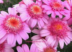 Marguerite Daisy (Argyranthemum) 'LaRita Rose'
