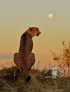 Amazing cheetah pic with the full moon Game Lodge, Paws And Claws, Cheetahs, African Safari, I Am Game, Giraffe, Sculptures, Cute Animals, Wildlife