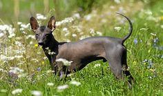 Xoloitzcuintli - Alles over hondenrassen ✓ Unique Dog Breeds, Beautiful Dog Breeds, Beautiful Horses, Mexican Hairless Dog, Ancient Aztecs, Little Tykes, Horses And Dogs, Labradoodle, Rottweiler