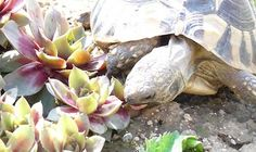 Indeed, they eat vegetables and meat henceforth they are called as omnivores thus an adjusted eating routine with an equivalent blend. Tortoise House, Turtle Homes, Happy Turtle, Tortoises, Garden Sculpture, Health, Outdoor Decor, Plants, Animals