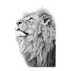 Lion Pen and Ink Drawing