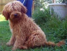 Another dog I would like to own... Petite Goldendoodle! So cute and only get to be about 25-30 lbs.