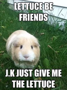 Guinea pig lettuce be friends meme