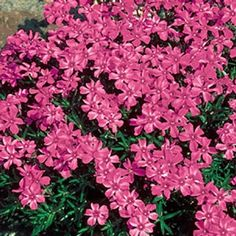 "Scarlet Flame Carpet Phlox. Grows anywhere! No other plant spreads so lavishly, needs so little attention and flowers so profusely with so little care. Needlelike, semi-evergreen leaves form a dense ground cover smothered with blossoms in early to mid spring. Grows only 2-6"" tall and has a neat creeping habit. Thrives anywhere, even in poor, dry, sandy soil where other ground covers fail."