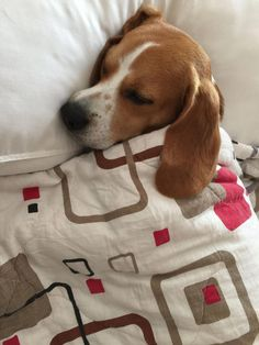 Are you interested in a Beagle? Well, the Beagle is one of the few popular dogs that will adapt much faster to any home. Whether you have a large family, p Positive Dog Training, Basic Dog Training, Training Your Puppy, Training Dogs, Cute Beagles, Cute Puppies, Cute Dogs, Dogs And Puppies, Doggies