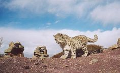Snow Leopard Friends