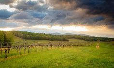 Panoramic view of #Biltmore's vineyard in Asheville, NC.
