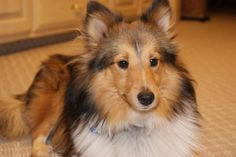 This is Buddy, my Sheltie. He is such a smart dog, very loving & very gentle