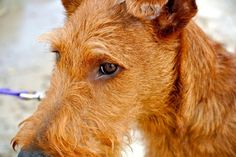 Séamus O'Malley / Irish Terrier