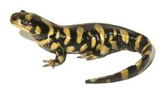Tiger Salamander - cute little bugger.