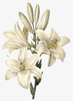 White Botanical Print Set No. 4 Botanical Print by BelleBotanica Vintage Botanical Prints, Botanical Drawings, Vintage Art, Botanical Flowers, Botanical Art, Vector Flowers, Flower Prints, Flower Art, White Lily Flower