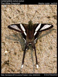 Lamproptera curius curius