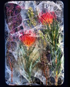 South African Photographer Bruce Boyd & Tharien Smith Lens Frozen Flowers In — Anne of Carversville Distortion Photography, Fine Art Photography, Flower Photography, Product Photography, Real Flowers, Beautiful Flowers, Beautiful Pictures, Art Floral, Ice Art
