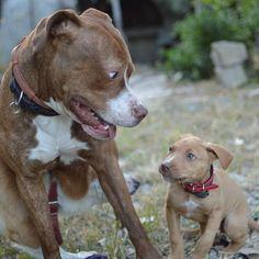 Eliminate Over 30+ Common Behavioral Pit Bull Issues - pit bull #pitbulls #pitbulllove