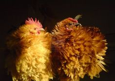 Chickens Chicken And Cow, Chicken Lady, Chickens And Roosters, Rabbits, Frizzle Chickens, Rhode Island Red, Henny Penny, Small Farm, Baby Chicks