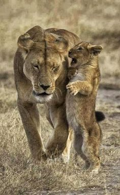 animals Lioness and Cubs Wildlife animals Wilderness Photography Lion