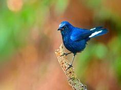 Un pájaro azul posado en una rama