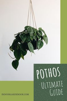 Pothos from A to Z (Caring, Propagating, Repotting, Common Problems, etc. Planting Succulents, Planting Flowers, Diy Planter Box, Planters, Garden Nook, Planting Potatoes, Vegetable Garden For Beginners, Pothos Plant, Plant Guide