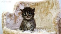 Kelly-3W-1 #mainecoon #katzenbaby #kitten