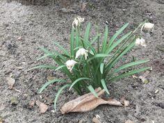 Wenn es so langsam Frühling wird kommen die ersten Schneeglöckchen aus der Erde. Unser Fingerspiel passt dazu. Material: kein Material erforderlich Alter: ab 2 Jahre Spielidee: Tief in der Erde von Schnee bedeckt, hat sich das Schneeglöckchen versteckt. Eine Hand bildet Erdoberfläche, darunter liegt als Faust die Blume Scheint die liebe Sonne und regnet es…