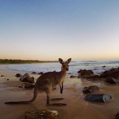 Pro Tip: Setting your #GoPro to a .5s #Timelapse will help ensure there's always one great photo.  @HarleyIngleby goes for an early morning swim with a local at Coffs Harbour Beach. #GoProANZ #Australia #Kangaroo