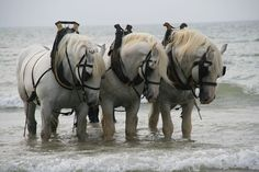 Working Seahorses! Seen horses working like this in Prince Edward Island harvesting seaweed for carrageenan.