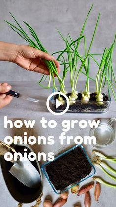 A super simple How-To for growing spring onions at home from food scraps, to re-use numerous times- With two methods that can both be done indoors, with little space and mess and no onion seeds necess Regrow Vegetables, Growing Vegetables, Growing Herbs Indoors, Veggies, Growing Spring Onions, Weed Seeds, Plantation, Hydroponics, Hydroponic Gardening