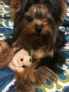 The Popular Pet and Lap Dog: Yorkshire Terrier - Champion Dogs Yorkshire Terrier Teacup, Yorkshire Terrier Haircut, Yorkshire Terrier Puppies, Yorkies, Yorkie Puppy, I Love Dogs, Cute Dogs, Yorshire Terrier, Top Dog Breeds