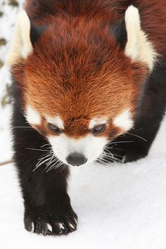 "Red Panda Tracks - by ""Mark Dumont"""