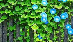 Klisaz Shop (Unique acessories and rare seeds): Jualbiit / benih / seeds flower (bunga morning glo...