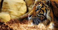tiger face profile 4k ultra hd wallpaper